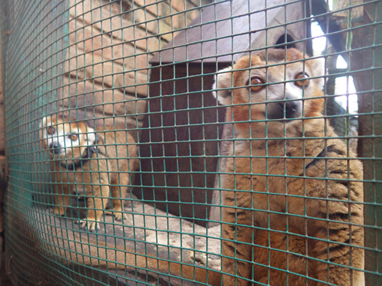 Crowned lemur kept in captivity in Northern Madagascar. Eulemur coronatus. Pet Lemur. Madagascar Conservation & Development. Photo Kim Reuter