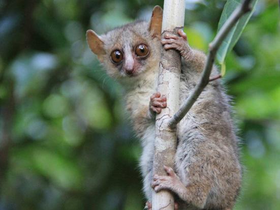 Microcebus murinus in Mandena, southeast Madagascar (photo: Tara Blanthorn); Madagascar Conservation & Development