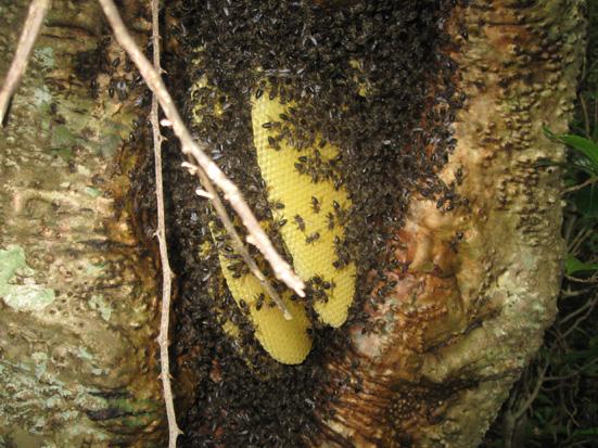 Tree as beehive with honey in the Agnalavelo forest, photo by Tabita Randrianarivony