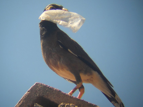 Common Myna in Antananarivo, Madagascar; plastic bag as material for a Common myna's nest