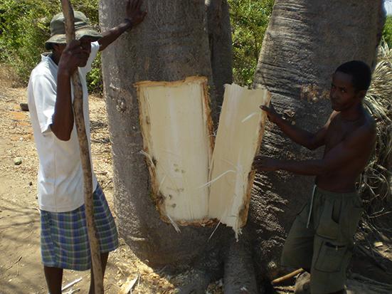 bark removed of Adansonia grandidieri in Bekonazy site (©Andriafidison 2010)