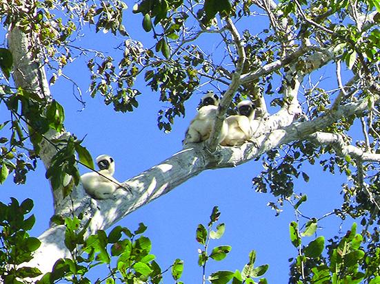 Propithecus deckenii in Andranomanenty – Besalampy, Madagascar